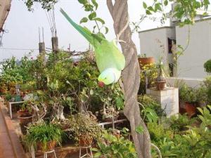 My pet parrot on jasmine climber