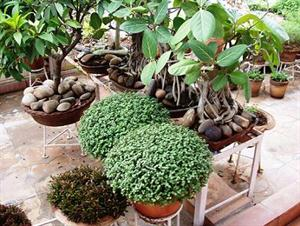 Bonsai and other plants in terrace garden
