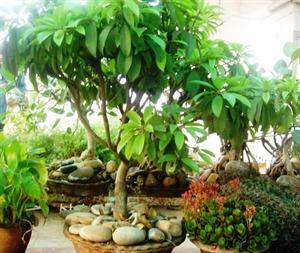 Sapota tree as bonsai