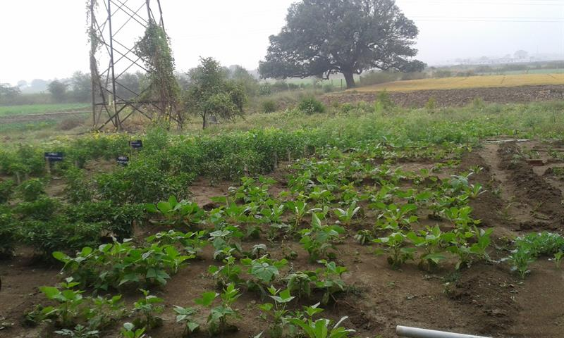 The field of Chilli and Daikon