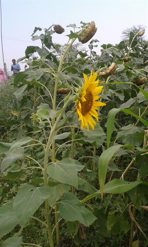 Sunflower field at AKS University, Satna