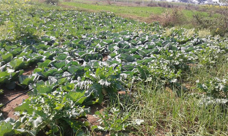 Cabbage field in AKS University, Satna