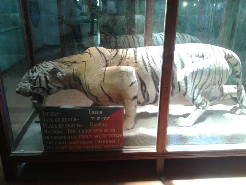 Dead tiger at Gairal, Jim Corbett National Park