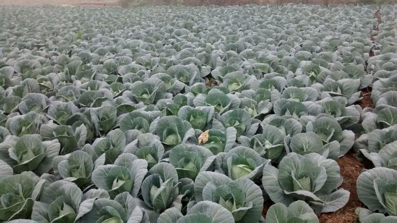 cabbage filed grow in Harayana