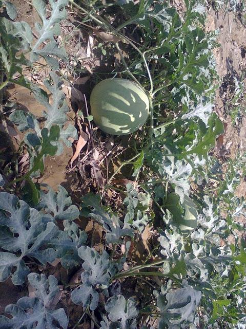 Ash Gourd (Petha) crops found in Haryana State