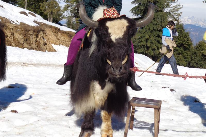 Mountain animal  - Kufri, Shimla