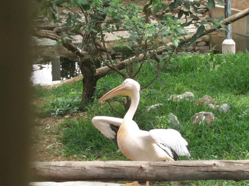 American White Pelican at Mysore Zoo
