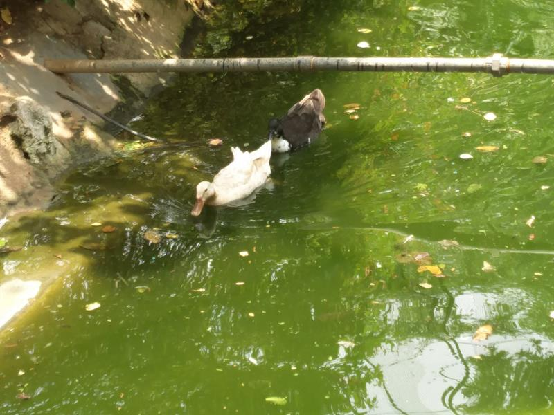 Different colors of Ducks at Mysore Zoo
