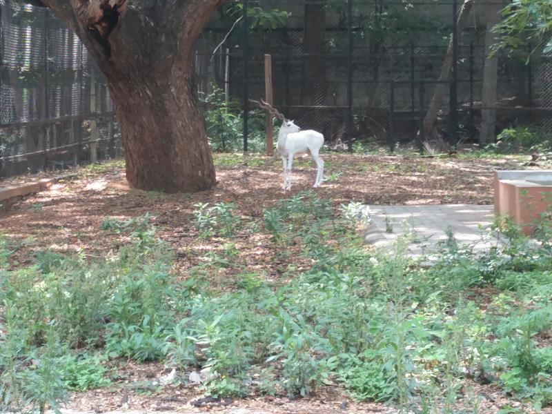 White Blackbuck  Deer at Sri Chammarajendra zoological gardens, Mysore