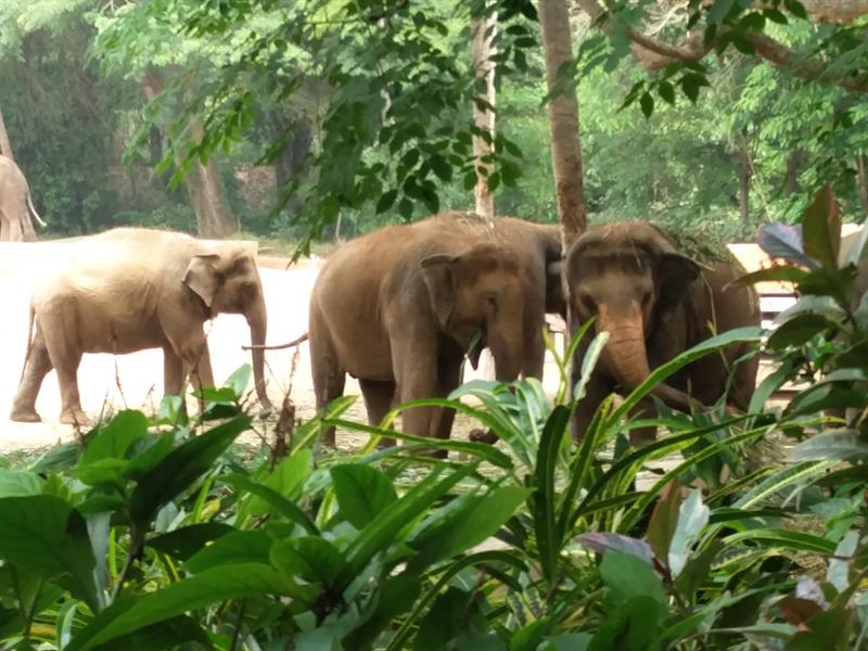 Indian elephants at the Sri Chamarajendra zoo in Mysore