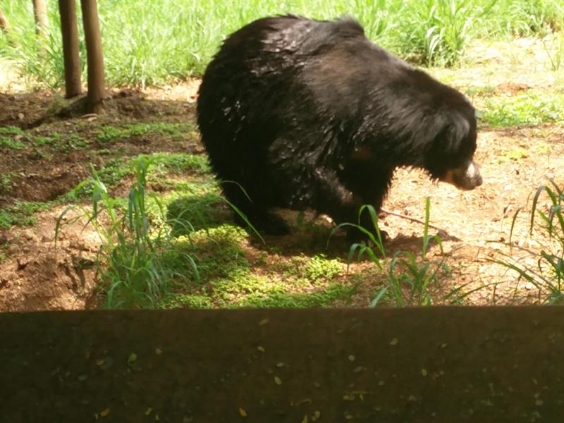 Slot Bear at  sri chamarajendra zoological gardens,Mysore