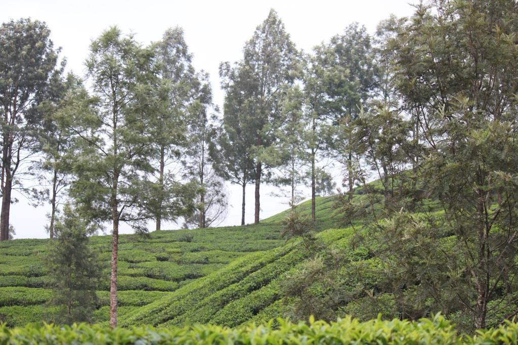 Tea estates in Munnar hill station