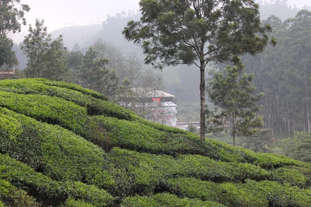 Beautiful tea gardens of Munnar