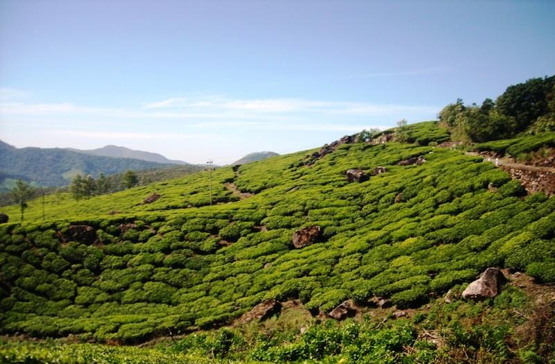 Tea gardens at Eravikulam National Park, Munnar, Kerala