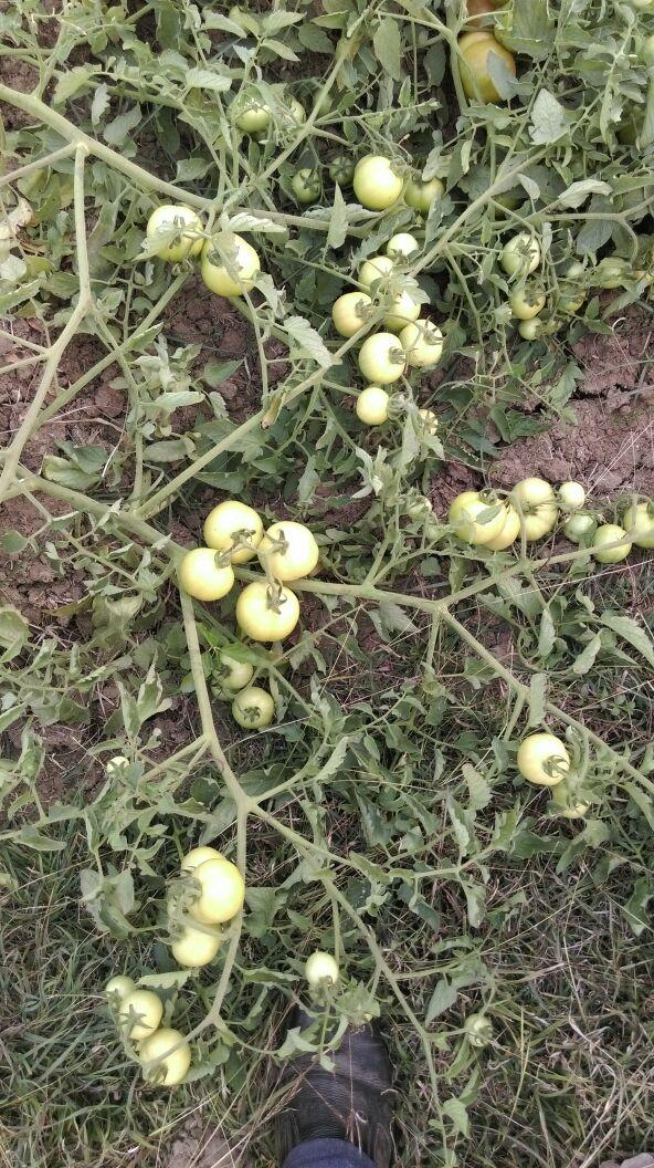 Cultivation of tomato in Maharashtra
