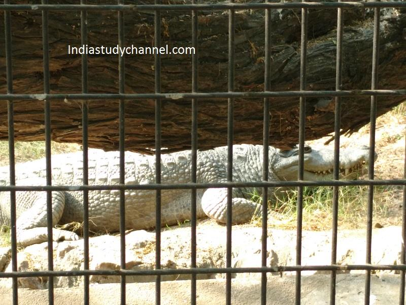 Crocodile, National zoological park, Delhi