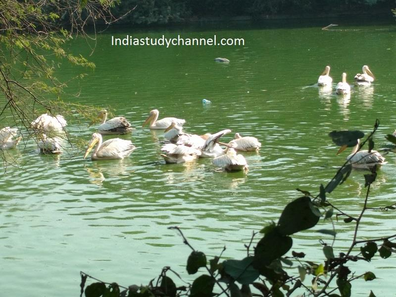 Pelicans, National Zoological Park,  Delhi