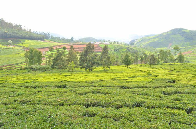 Tea Estate View near Udagamandalam