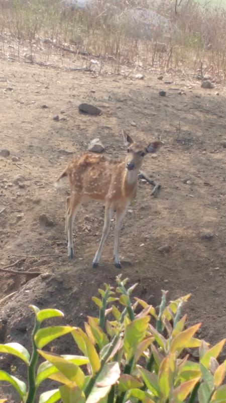 Spotted Deer at Nehru Zoological Park,Hyderabad
