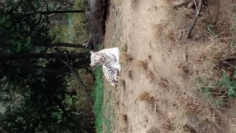 White Tiger, Nehru Zoological Park, Hyderabad
