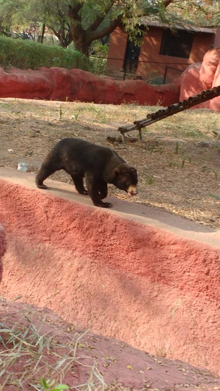 Sunbear in Nehru Zoological park, Hyderabad
