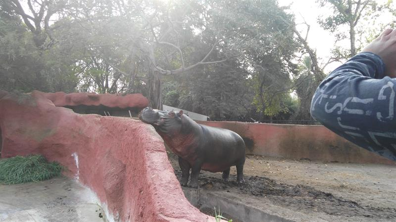 Hippo in Nehru Zoo,Hyderabad