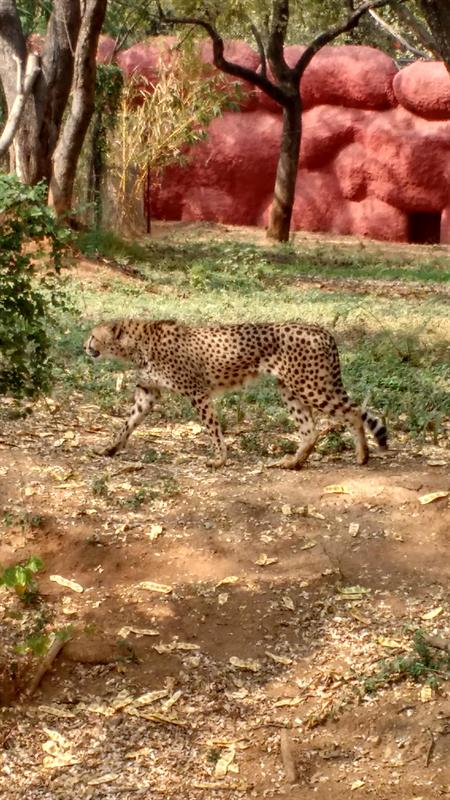 A male African cheetah name Dark at Nehru Zooligical Park,Hyderabad