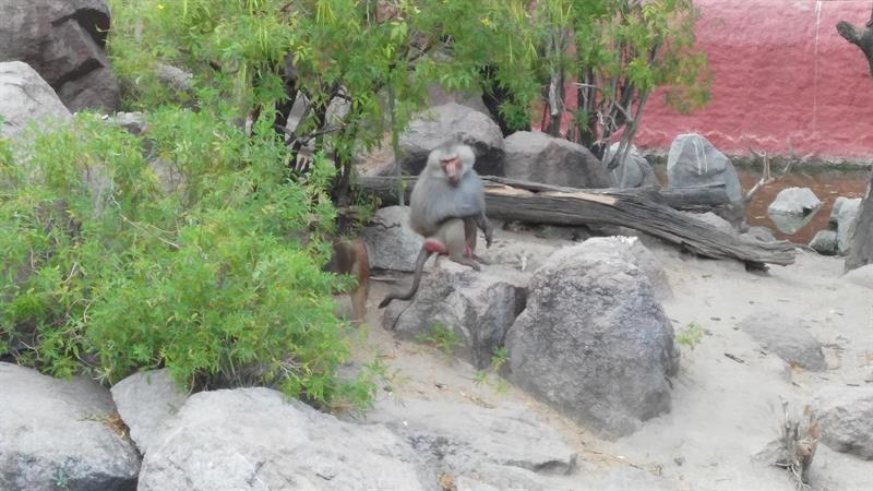 Baboon Monkey in Nehru Zoological Park,Hyderabad.