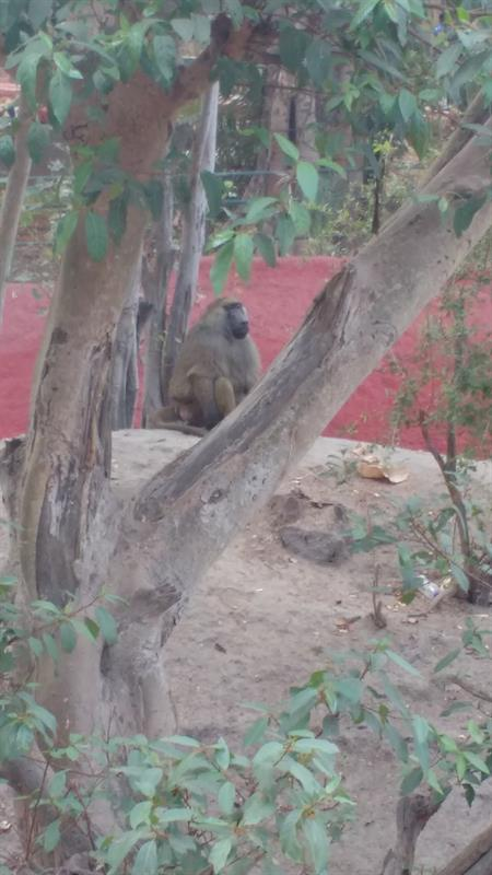 Olive Baboon Monkey at Nehru Zoo,Hyderabad