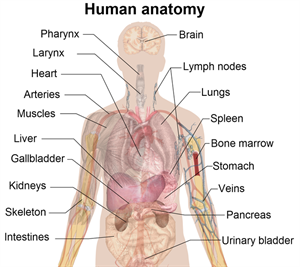human anatomy courtesy wikipedia in human body totally there are