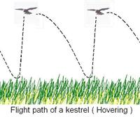 Flight path of kestrel ( Hovering ).