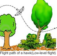 Flight path of a hawk ( Low-level flight)