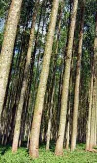 The adult Australian teak plants after 12 years