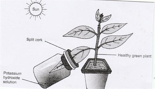Experiment on Photosynthesis-Carbon dioxide is necessary for photosynthesis