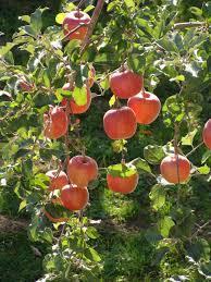 Shimla Apple Garden