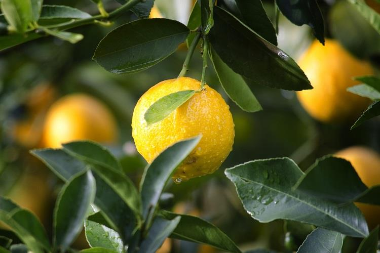 Health Benefits of Lemon - Medicinal Value of Lemon