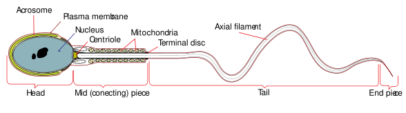 Structure of a Human Sperm cell