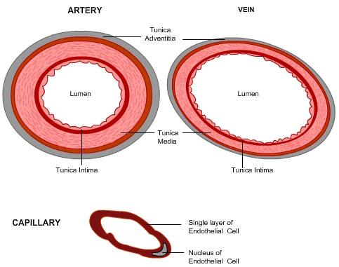 T.S. of Artery and Vein structure