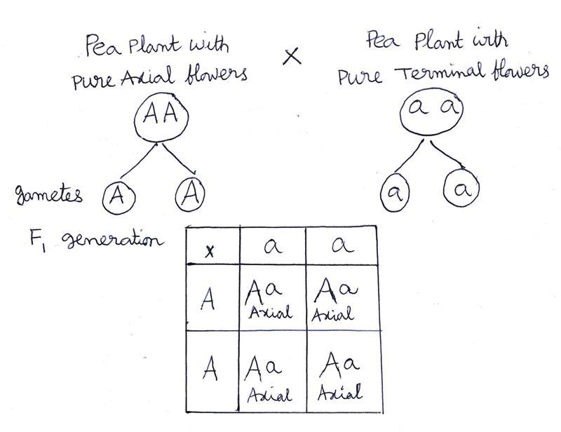 Cross between homozygous dominant and recessive plants