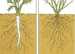 Tap Root System in Dicot plant and Fibrous Root System in Monocot Plant