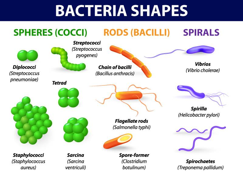 Differernt Shapes of Bacteria