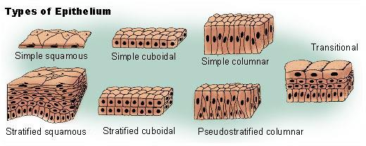 Types of Epithelial Tissues