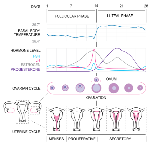 Phses of Menstrual Cycle