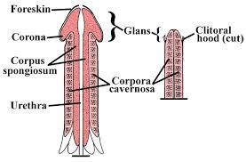 Structure of Penis
