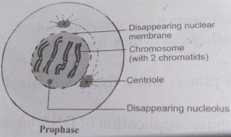 Prophase Stage of Mitosis