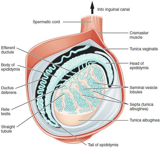 internal structure of testes