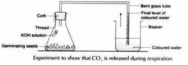 Experiment to show Co2 is evolved during respiration