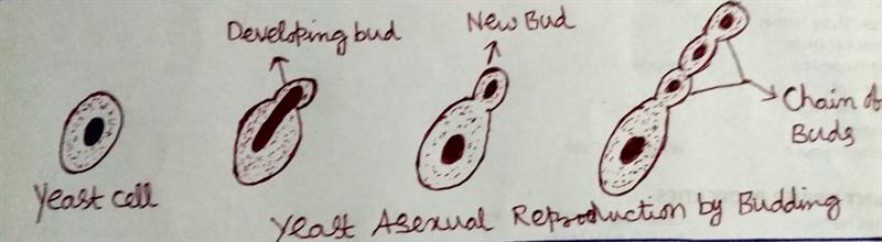Yeast Asexual Reproduction by Budding