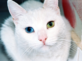 Heterochromia in Cat