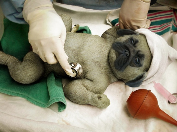 Newborn Pug Puppies Pictures http://www.keywordpictures.com/abuse/new%20born%20pug%20puppies///